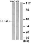 C11927-1 - ERGIC3