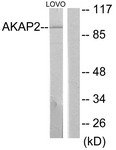 C11932-1 - AKAP2