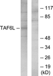 C11986-1 - TAF6L