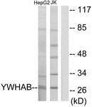 C12001-1 - 14-3-3 protein beta/alpha
