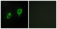 C12004-1 - 14-3-3 protein gamma