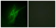 C12017-1 - Serotonin receptor 4 / HTR4