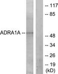 C12028-1 - Alpha-1A adrenergic receptor / ADRA1A