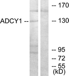 C12031-1 - Adenylate cyclase type 1