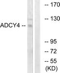 C12034-1 - Adenylate cyclase type 4