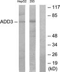 C12042-1 - Gamma-adducin (ADD3)