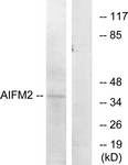 C12047-1 - AIF2 / AIFM2