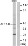 C12062-1 - ARRDC4