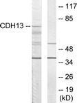 C12089-1 - Cadherin-13
