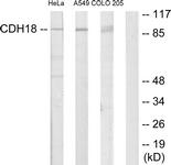C12093-1 - Cadherin-18