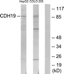 C12094-1 - Cadherin-19