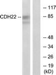 C12096-1 - Cadherin-22
