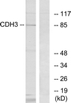 C12101-1 - Cadherin-3