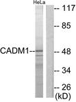 C12108-1 - CADM1 / SYNCAM