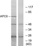 C12166-1 - CDC16 / APC6