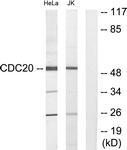 C12167-1 - CDC20