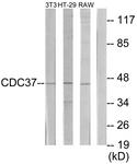 C12169-1 - CDC37