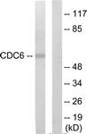 C12172-1 - CDC6