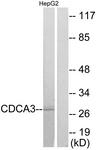 C12174-1 - CDCA3