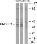 C12193-1 - Chemokine receptor-like 1
