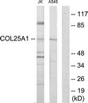 C12227-1 - Collagen type XXV alpha 1 chain