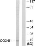 C12235-1 - COX IV isoform 1