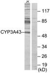 C12274-1 - CYP3A43