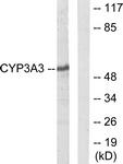 C12276-1 - CYP3A4