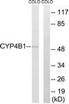 C12282-1 - CYP4B1
