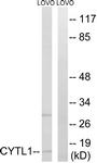 C12324-1 - Cytokine-like protein 1