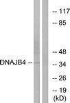 C12333-1 - DNAJB4 / HSP40 homolog