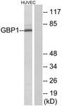 C12390-1 - GTP-binding protein 1 / GBP1