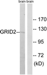 C12395-1 - Glutamate receptor delta-2