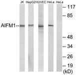 C13024-1 - AIFM1 / AIF