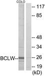 C13031-1 - Bcl-2-like 2