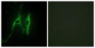 C13038-1 - Cytochrome b5