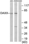 C13039-1 - DAXX