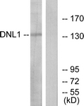 C13044-1 - DNA ligase 1