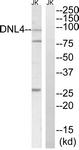 C13046-1 - DNA ligase 4