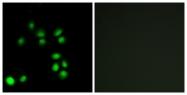 C13052-1 - Exonuclease 1 (EXO1)