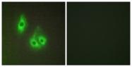 C13066-1 - Laminin alpha 3