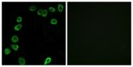 C13067-1 - Laminin alpha 4