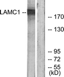 C13072-1 - Laminin gamma 1