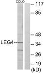 C13077-1 - Galectin-4