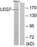 C13078-1 - Galectin-7