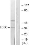 C13079-1 - Galectin-8
