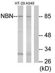 C13093-1 - Nibrin