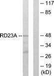 C13113-1 - RAD23A