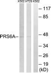 C14013-1 - PSMC3 / TBP1