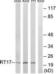 C14036-1 - MRPS17